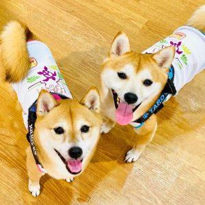 😻🐕柴犬の華ちゃんと太郎くんです♪